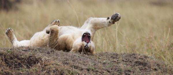 Löwenjunges räkelt sich im Sand