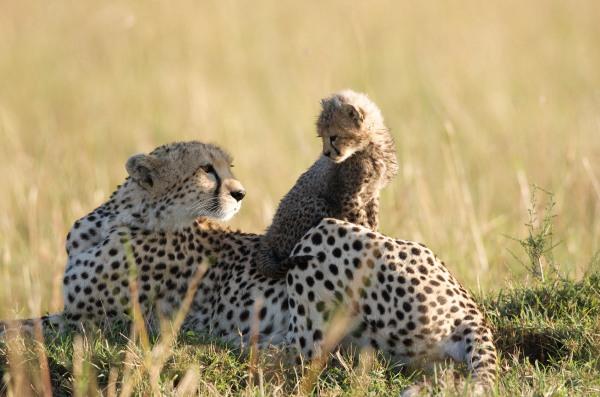 Gepardin Sita mit Jungem auf dem Film Im Reich der Raubkatzen