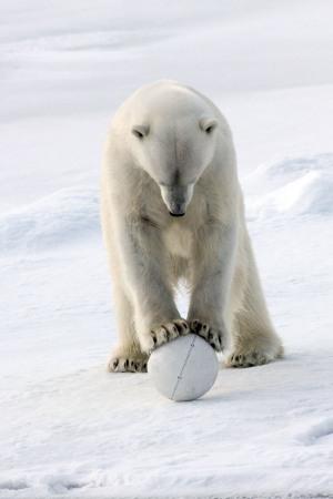 Eisbär spielt mit Kamera-Drohne