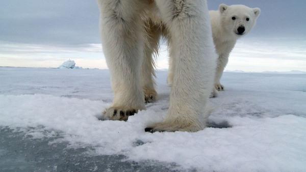 Eisbärjunges schaut in die Kamera