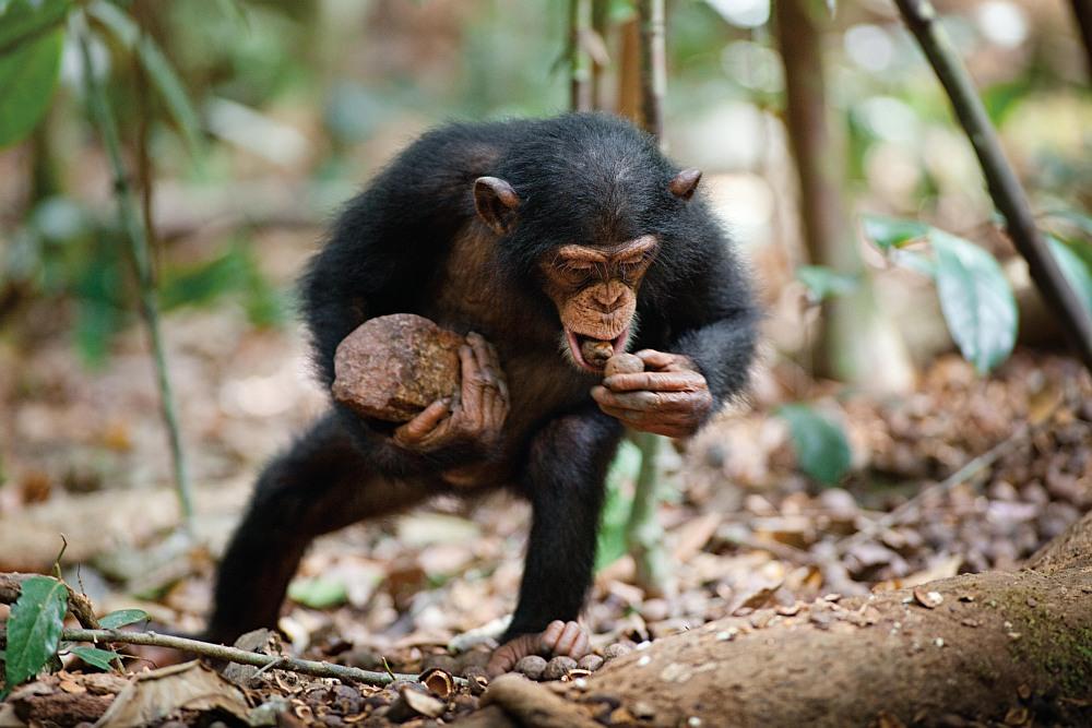 Ein Schimpansenjunges sammelt Nüsse am Dschungelboden.