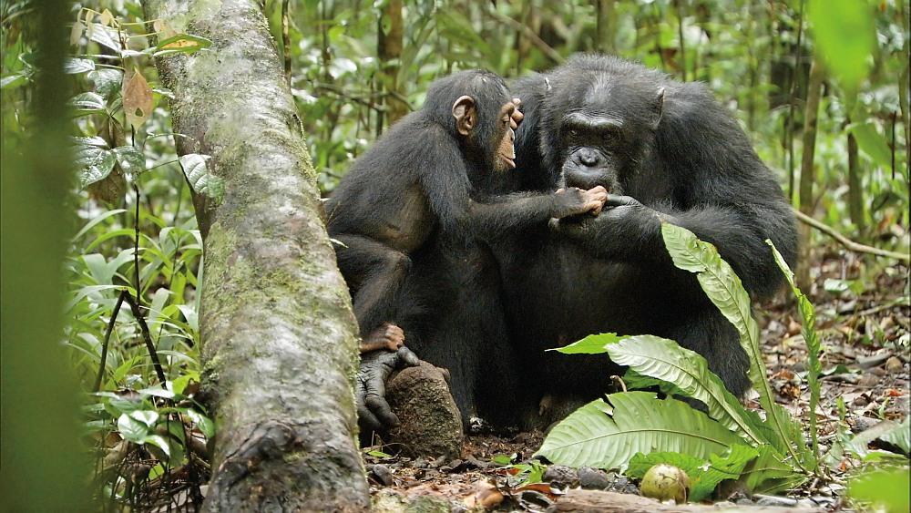 Ein Schimpansenjunges kniet sich zu einem hockenden erwachsenen Schimpansen und greift in dessen geöffnete Handfläche.