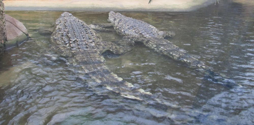 Zwei Krokodile im Wasserbecken sind von hinten zu sehen