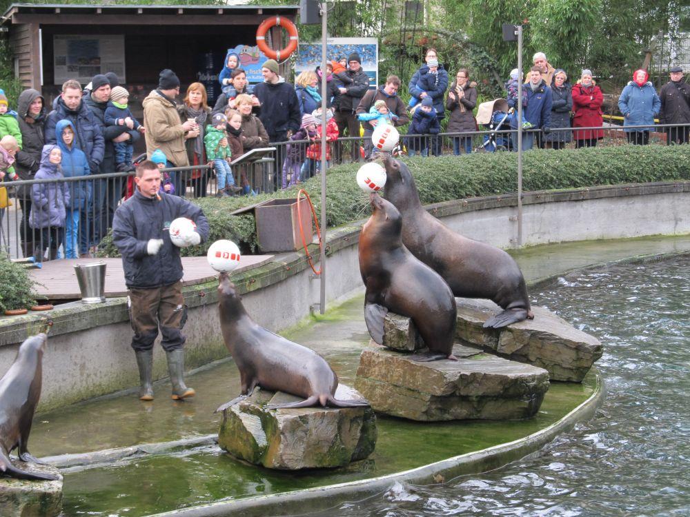 Seehunde jonglieren Bälle mit ihren Nasen, ein Tierpfleger mit einem Ball in der Hand steht vor ihnen, im Hintergrund eine Menge von Zoobesuchern.