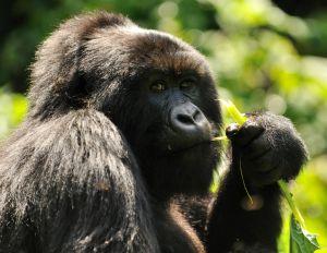 Der Berggorilla kaut an einem Ast und schaut Richtung Betrachter.