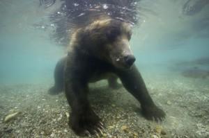 Braunbär (Ursus arctos), fischt tauchend Rotlachs im Fluss Ozernaya.