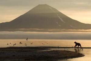 Ein Bär schreckt Möwen auf einer Sandbank am Kurilensee in Kamtschatka auf. Im Hintergrund der ist der Vulkan Ilinski zu sehen.