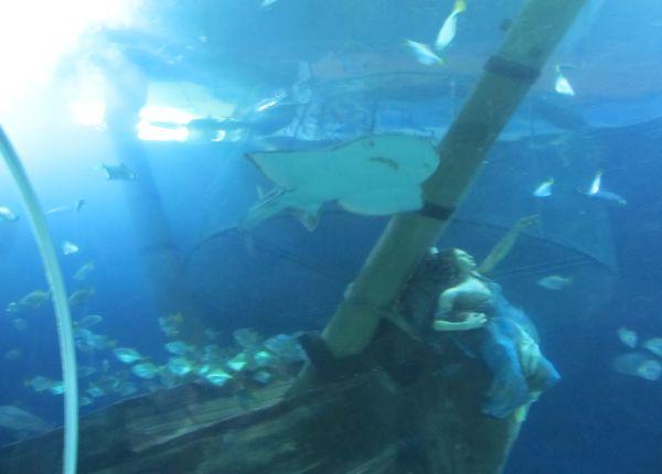 Ein Rochen schwimmt über ein versunkenes Segelschiff hinweg im Sealife Oberhausen