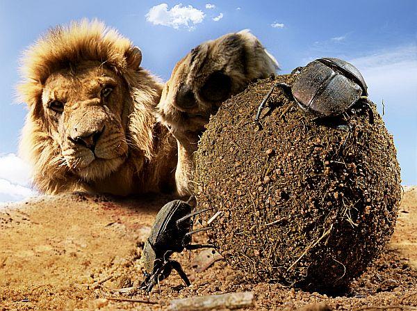 Zwei Mistkäfer rollen eine Dungkugel, im Hintergrund streckt ein Löwe die Pranke nach ihnen aus.