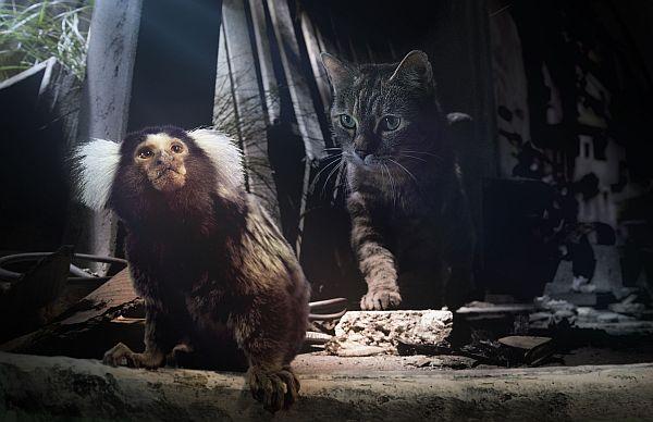 Ein Büschelaffe mit weißen Büscheln am Kopf in einer Bauruine, eine Katze schleicht sich an den viel kleineren Affen heran.