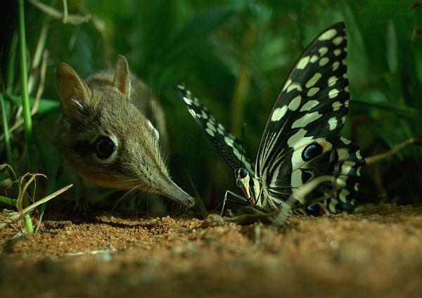 Eine Elefantenrüsselmaus beäugt und beschnüffelt einen Schmetterling, der mit ausgebreiteten Flügeln fast so groß wirkt wie sie selbst.