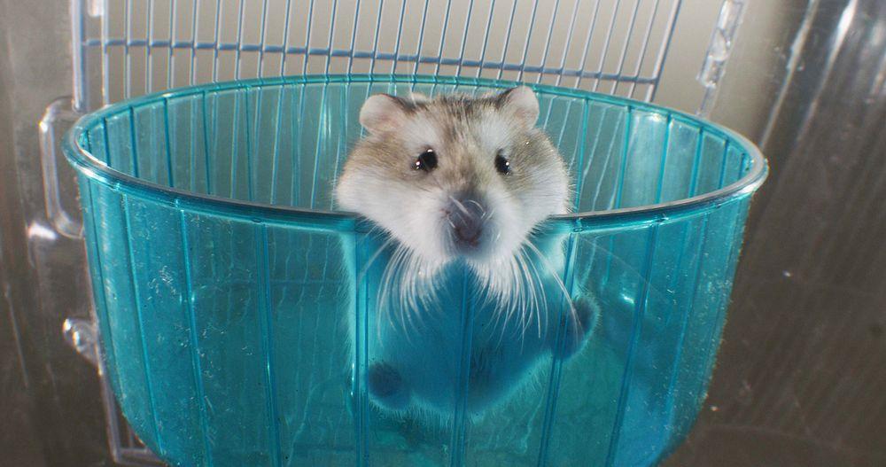 Ein Hamster schaut aus seinem Laufrad nach unten.