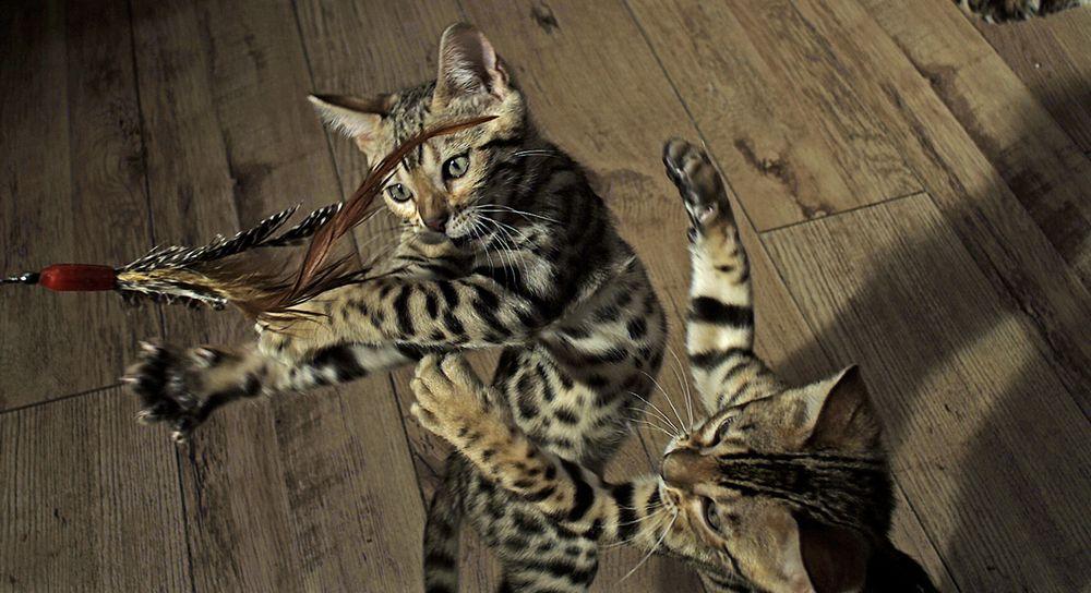 Zwei spielende Katzen.